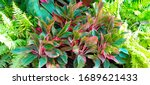 ornamental plant many leaves in ... | Shutterstock . vector #1689621433