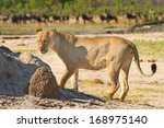Lioness On The Plains Of Hwang...
