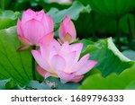 Three Lotus Flowers  One In...