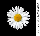 Flowering of daisies isolated...