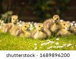 Brood Of Canada Goose Goslings...