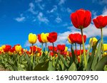 Colorful Spring Tulip Fields....
