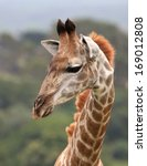 Portrait Of A Young Giraffe In...