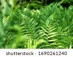 Close Up Of Green Ferns In A...