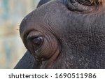Hippo Eye. Hippopotamus Eye...