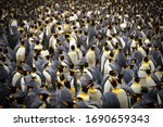 A King Penguin Colony Gathers...