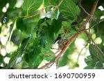 Humming Bird Guards Her Nest. ...