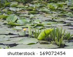 yellow water lily in danube... | Shutterstock . vector #169072454