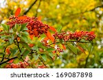 Red Firethorn  Pyracantha ...