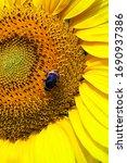 Bumblebee Sitting On Yellow...