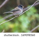 Dark Eyed Junco Bird Perched O...