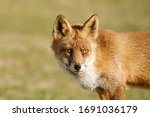 A Magnificent Wild Red Fox  The ...