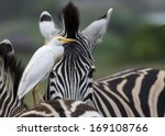 A Cattle Egret Riding On A...