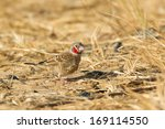Small photo of A Male Cut-throat Finch (Amadina fasciata) on dry sandy/grassy ground