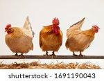 Cock Hens Animal   Fresh Eggs