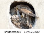 The Common Kestrel.  Life Of...