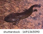 A Giant Salamander Of Japan