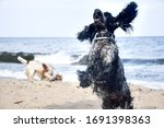 Blue Roan Cocker Spaniel Flyin...