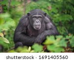 Small photo of Captive Chimpanzees in Outdoor Habitat