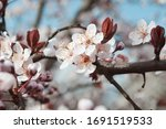 A Tree In Flowers. Plum Blosso...