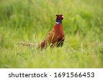 Disturbed Common Pheasant ...