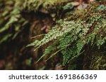 Small photo of Closeup to a Black Maidenhair fern (Adiantum capillus-veneris) Adiantum capillus veneris plant, Southern maidenhair fern, black maidenhair fern, venus hair fern.