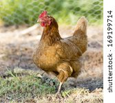 Chicken wanders around the yard on a small farm - stock photo