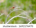 Flame Skimmer Dragonfly ...