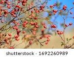 Rosehip Fruit For Herbal...