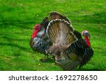 Two wild turkeys parade next to each other at David Crockett Birthplace State Park in Limestone,Tennessee