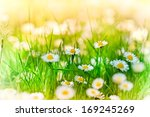 beautiful daisy in a meadow  ... | Shutterstock . vector #169245269