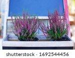Blooming Heather Calluna...