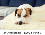 Cute Jack Russell Dog Resting...