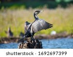 African Reed Cormorant From...