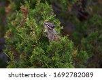 A Small Chipmunk In A Cedar...