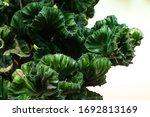 Jade Tree Or Euphorbia Lacteal