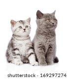 Stock photo scottish kitten and british shorthair kitten isolated on white background 169297274