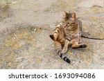 Bengali Cat  Sitting And...