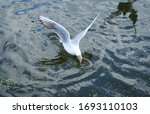 Seagull Eat Something. Bird...