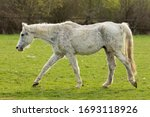 Very Old Horse  White Horse ...