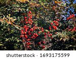 Red Holy Bamboo Berries In The...