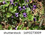 Closeup Of Wild Sweet Violet ...