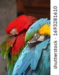 Colorful Parrots Sleeping And...