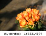 Close Up Bush Lily Flowers...