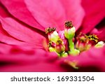 red poinsettia flower close up...   Shutterstock . vector #169331504