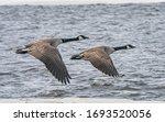 Canada Geese Return To Canada...