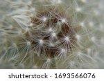 Dandelion Mysterious  Inner...