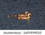 Two Egyptian Geese Swimming In...