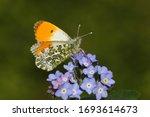 An Orange Tip Butterfly ...