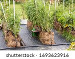Parsley  Carrot  Arrugola And...